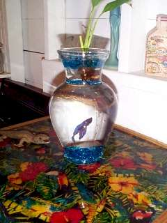 Tyson, the Beta Fish